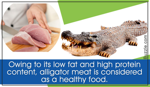 1200 610360 things about alligator meat