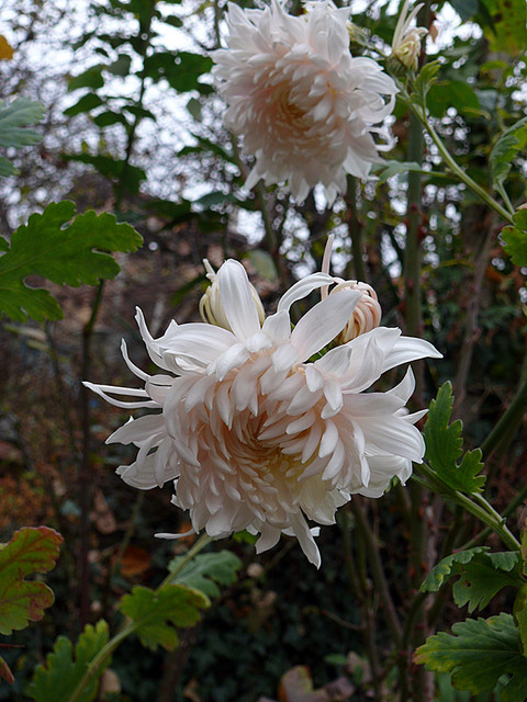 chrysanthemum1.jpg