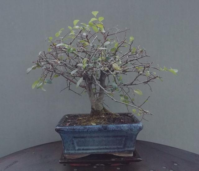 bonsai cuanddo llego a casa rev