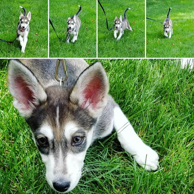 Teeny Tiny New Husky Pup...!? 20170818_183757