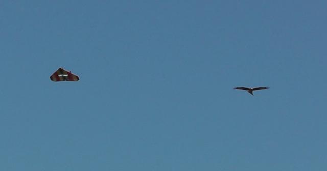 Red Kite1