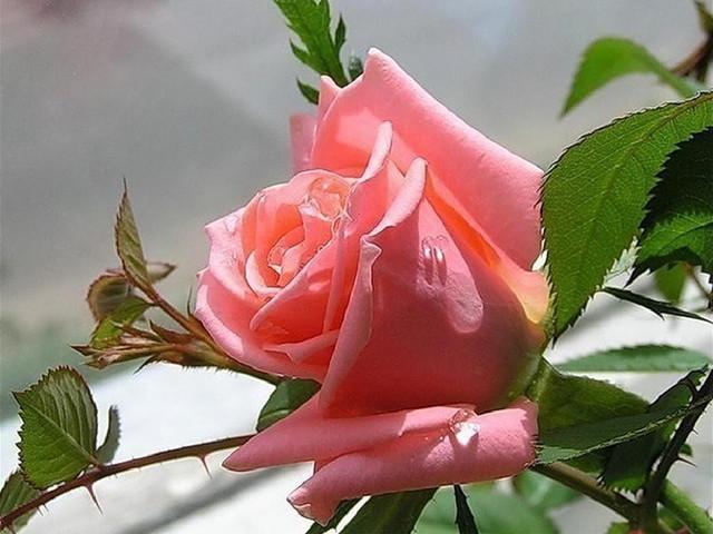 mostnature-com-flowers-pink-drops-flower-nature-soft-rose-delicate-photography-colors-natural-petals-beautiful-beauty-full-hd