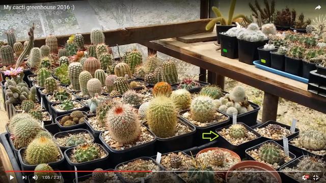 Kaktus_