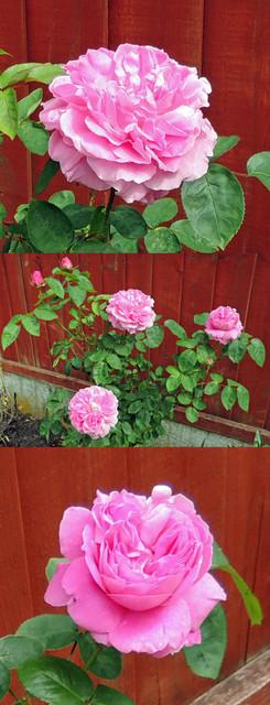 Roses_back_garden_x_3