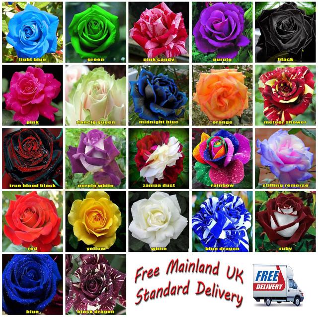 Seltene Ersticken Reue Rose Blumensamen Gartenpflanze