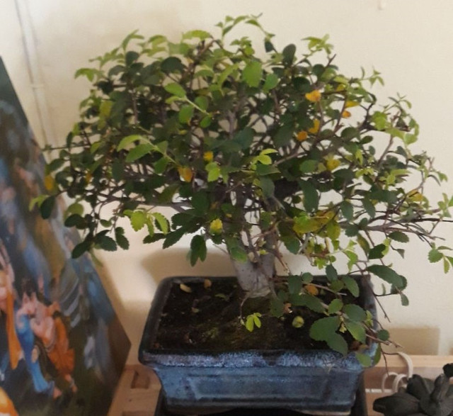bonsai 1