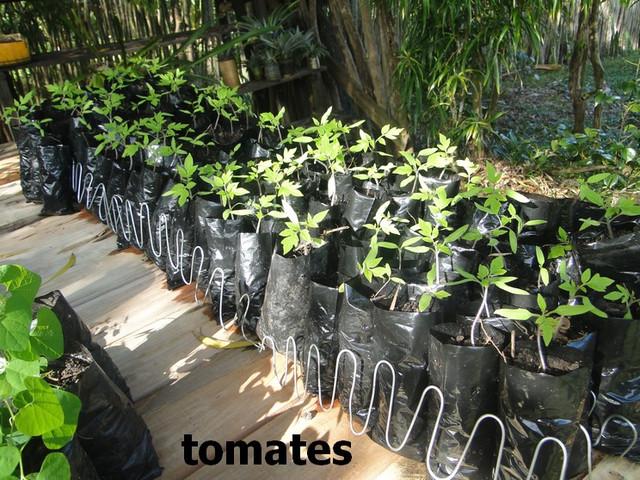 https://preview.ibb.co/iCQwye/Tomates.jpg