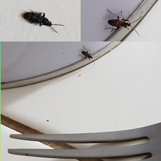 Insectes noir et brun dans mon appartement Photo_Editor_20180930_164813174