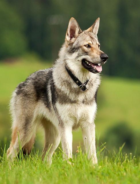 800px_Czech_wolfdog