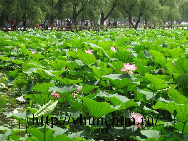 Озеро лотосов в Хуньчуне