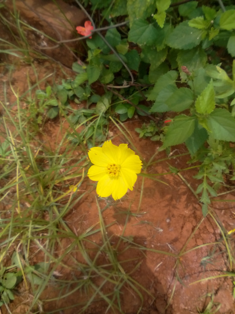 Species identification what is the name of this yellow flower enter image description here mightylinksfo