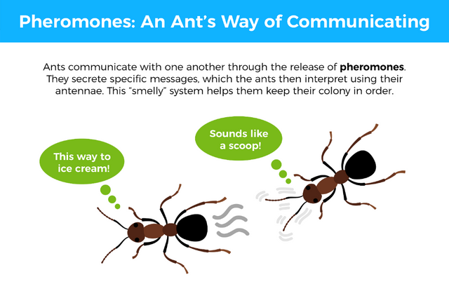Ants communicate with one another through the release of pheromones. They secret specific messages, which the ants then interpret using their antennae. This