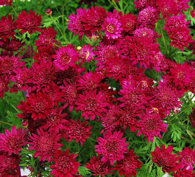 Argyranthemums - Madeira