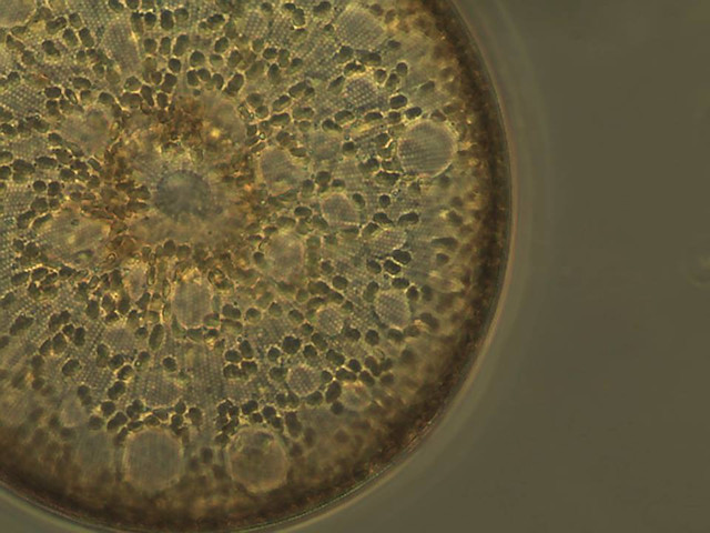 Photo of <em>Coscinodiscus wailesii</em> by Lyndsey Claassen, UW Tacoma