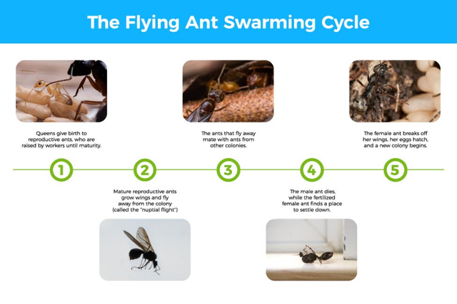 1) Queens give birth to reproductive ants, who are raised by workers until maturity. 2) Mature reproductive ants grow wings and fly away from the colony (called the