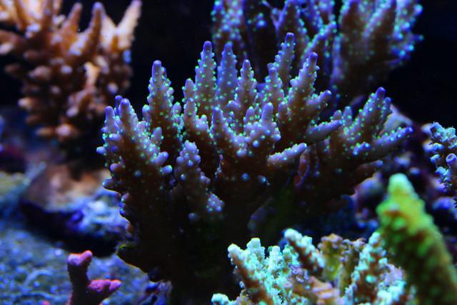 Purple-Gar-Acropora-2.jpg