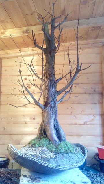 Metasequoia IMG_20180326_160741