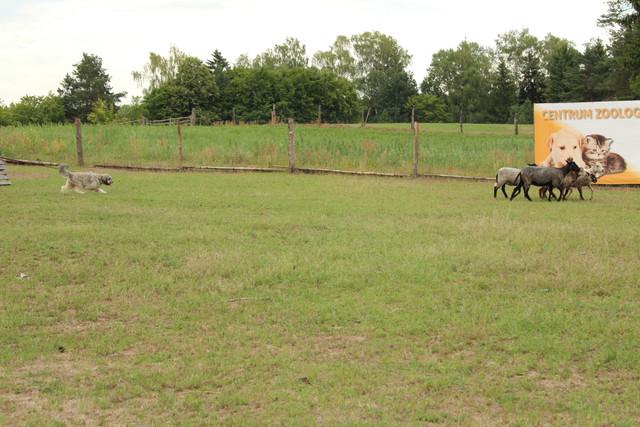 polskie owczarki nizinne