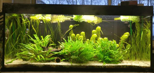 [31] Toulouse Aquario Club - TAC  240_L_sturisoma